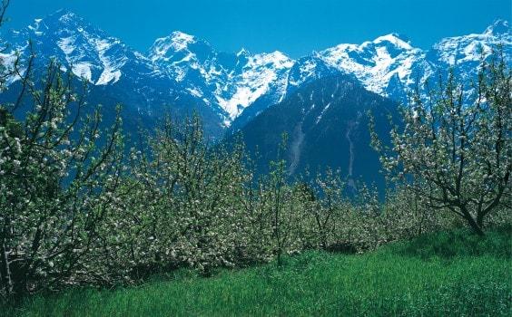Apple Blossom, Kalpa