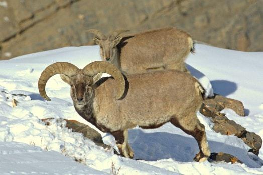 Blue Sheep (Lahaul-Spiti)