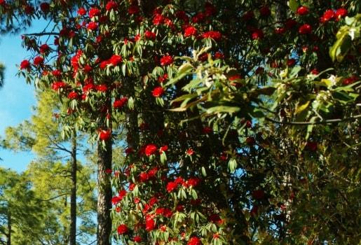 Rhododendron flower Shimla